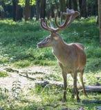 Red Deer Portrait Stock Images