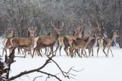 Red deer portrait on snow and forest in winter time Stock Photo