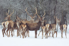 Red deer portrait on snow and forest in winter time Royalty Free Stock Photo