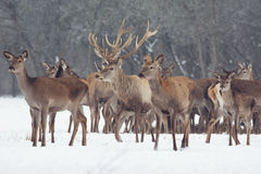 Red deer portrait on snow and forest in winter time Stock Photography
