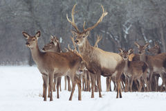 Red deer portrait on snow and forest in winter time Stock Image