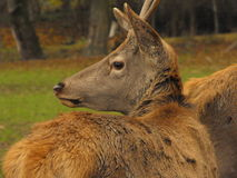 Red deer portrait. Portrait of a young adult red deer Stock Image