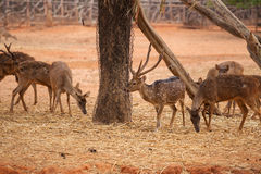 Red deer on red dry soil Royalty Free Stock Photos