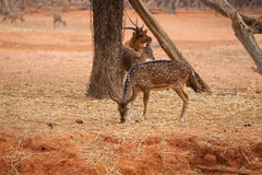 Red deer on red dry soil Royalty Free Stock Photography