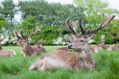 Red deer in Richmond Park Royalty Free Stock Image