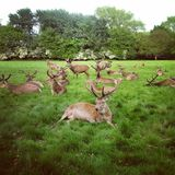 Red deer in Richmond Park. Royalty Free Stock Image