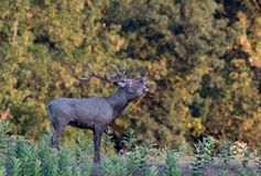 Red deer roaring in forest Royalty Free Stock Image