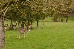 Red deer and roe deer on meadow Stock Image