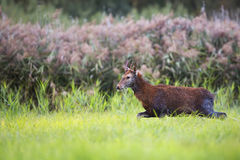 Red deer on the run Royalty Free Stock Images