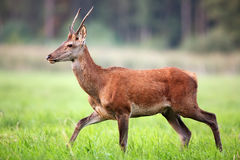 Red deer on the run in the wild Royalty Free Stock Photography