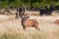 Red deer rut in Denmark Stock Images