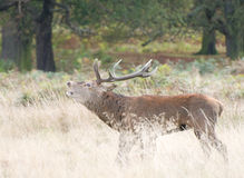 Red Deer Rutt Stock Photography