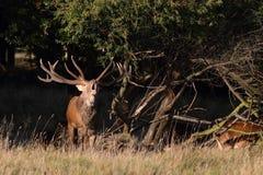 Red deer rutting season. Red deer during rutting season in autumn Stock Images
