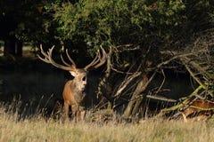 Red deer rutting season. Red deer during rutting season in autumn Stock Photo