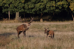 Red deer rutting season. Red deer during rutting season in autumn Royalty Free Stock Photography
