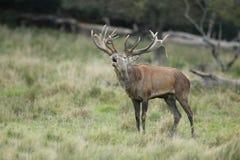 Red deer rutting season. Red deer during rutting season in autumn Stock Photos