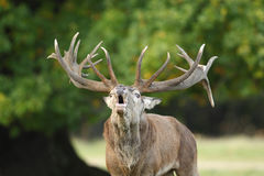 Red deer rutting season. Red deer during rutting season in autumn Royalty Free Stock Images