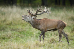 Red deer rutting season. Red deer during rutting season in autumn Stock Image