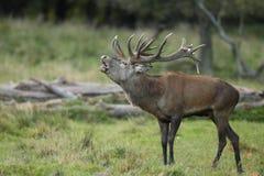 Red deer rutting season. Red deer during rutting season in autumn Royalty Free Stock Image