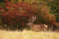 Red deer rutting season. Red deer during rutting season in autumn Stock Photography