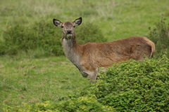 Red deer rutting season. Red deer during rutting season in autumn Royalty Free Stock Photo