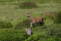 Red deer rutting season. Red deer during rutting season in autumn Royalty Free Stock Photos