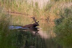 Red deer during rutting season runs through the water to the other side Royalty Free Stock Photography
