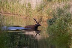 Red deer during rutting season runs through the water to the other side Stock Images