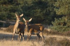 Red deer in a scenic National Park De Hoge Veluwe stock images