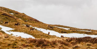 Red deer in Scottish Highlands. Herd of red deer grazing in Ben Lawers in winter Stock Photography