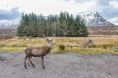Red deer in the Scottish Highlands Stock Photo