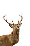 Red deer. Scottish red deer stag isolated on white Stock Photo