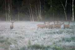 Red deer and several doe on the field in a foggy early morning. Red deer and several doe on the field in a foggy morning during the rut. Belarus, Naliboki forest Royalty Free Stock Image