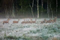 Red deer and several doe running across the field in a foggy mo. Rning during the rut. Belarus, Naliboki forest Stock Images