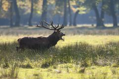 Red deer shouting in Autumn Royalty Free Stock Photos