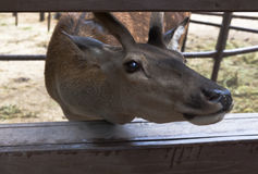 Red deer shoved his in fencing muzzle and begging for delicacy Royalty Free Stock Photo