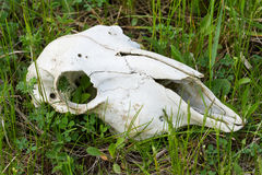 Red deer skull Stock Photography