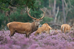 Red Deer with a small group. A Red Deer with a small group in the heather Royalty Free Stock Image
