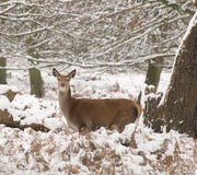 Red deer in the snow Stock Photo