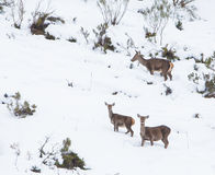 Red Deer in the snow Royalty Free Stock Photography