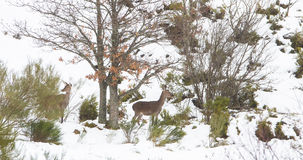 Red Deer in the snow Royalty Free Stock Photos