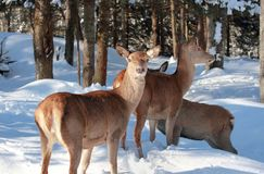 Red deer in snow Royalty Free Stock Photo