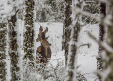 Red Deer in snowed forest Royalty Free Stock Photos
