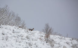Red Deer on snowed mountain. Two Red Deer (Cervus elaphus) stay vigilant to a possible wolf attack at the Cantabrian Mountains in northern Spain, the Picos de Royalty Free Stock Photos