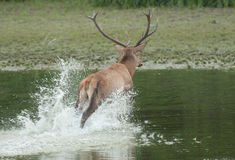 Red deer splashes Stock Photography