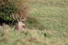 Free Red Deer Stag Royalty Free Stock Photos - 3239408