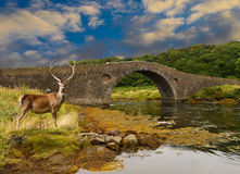 Red Deer Stag Royalty Free Stock Photography