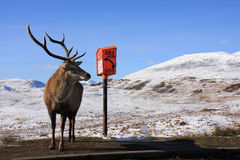 Red Deer Stag Royalty Free Stock Images