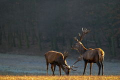 Red deer stag Stock Photography