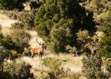 Free Red Deer Stag Royalty Free Stock Image - 86556766